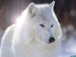 whitewolf72 whitewolf72