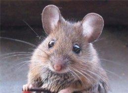 Мышка Серая