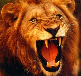 Lion ...