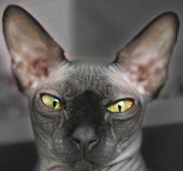 Bald Cat ^o_o^