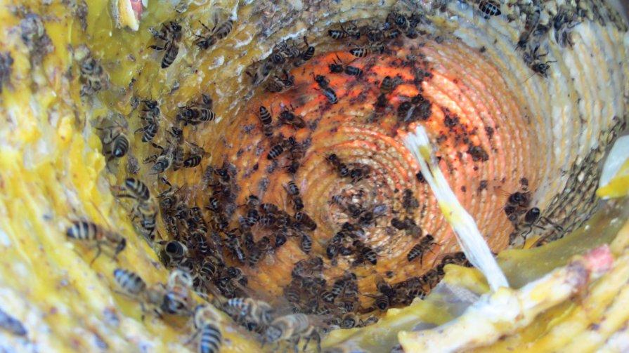 пчелы приманка для рой