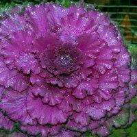 Цветок капусты :: Олег Якуба