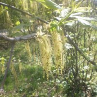 Пришла весна, деревья пробуждаются ото сна и наряжаются. :: Inna Nelepova