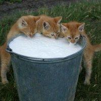 Молоко как мёд всем хватит. :: Сергей Гыцу