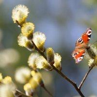 Первая бабочка :: Елена Фокина