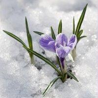 первоцветы :: Елена Карягина
