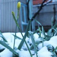тюльпаны в снегу :: Михаил Светличный