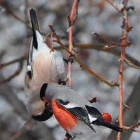 Весна - пора любви... целующиеся снегири :: Мария Макарова