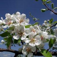 Яблоня в цвету. :: Татьяна Беляева