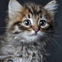 просто портрет котёнка :: Ruslan Nalsur