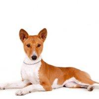 Ньям-ньям-терьер - африканская нелающая собака :: Mila Memory