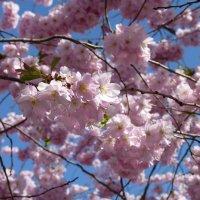 сакура цветет :: Дмитрий Лупандин