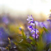 Гонцы весны в лучах заката. :: Жемчужникова Марина