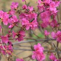 АМУРСКАЯ Весна ... :: JT --------      SHULGA  Alexei