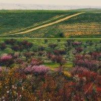 Весна. Цветущий персиковый сад :: Ольга Мальцева