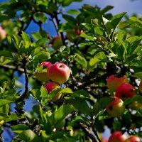 яблоки :: Дмитрий Лупандин