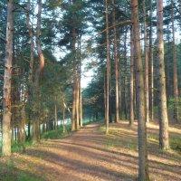 Утро в сосновом лесу :: Наталья Алексеева