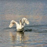 А белый лебедь на пруду... :: Лариса Исаева