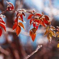 Осенняя веточка в первый мороз :: Вероника Алатырева