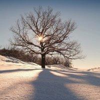 В зимней спячке дубы-колдуны.. :: Андрей Заломленков