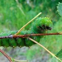 Зелёная,мохнатая и в меру волосатая. :: nadyasilyuk Вознюк