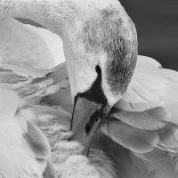 Лебедь :: Татьяна Кабанец