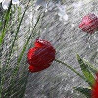 тюльпаны :: Андрей Иванов
