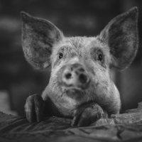 Piggy :: Maxim Puda