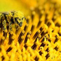 Пчела в пыльце :: Иван Сагиров