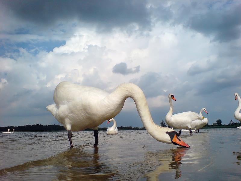 Лебединое озеро - Александр Титов