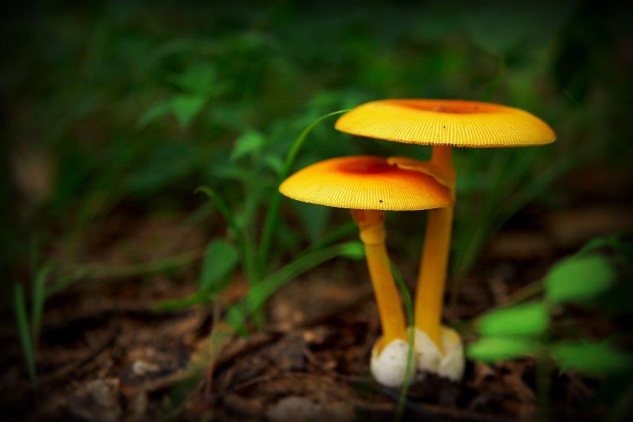 фото кесарев гриб
