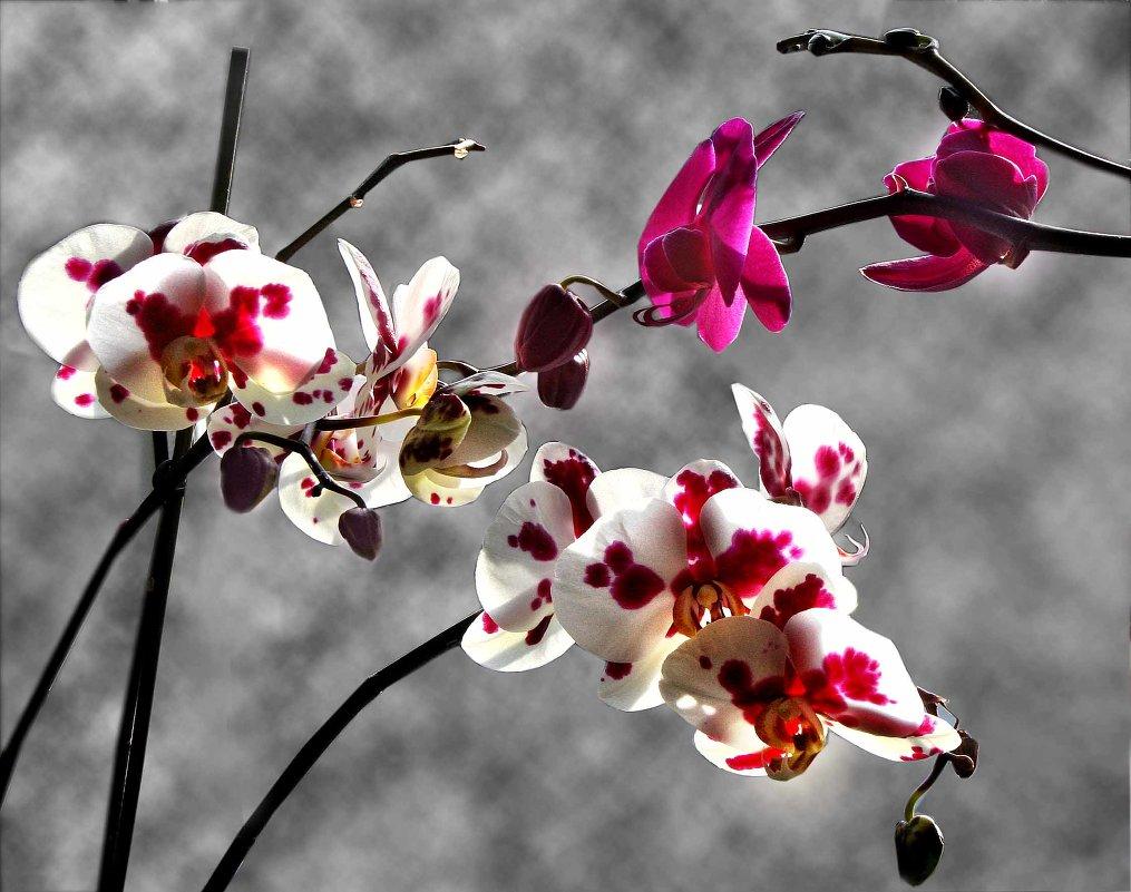 Орхидея - Ольга Волкова
