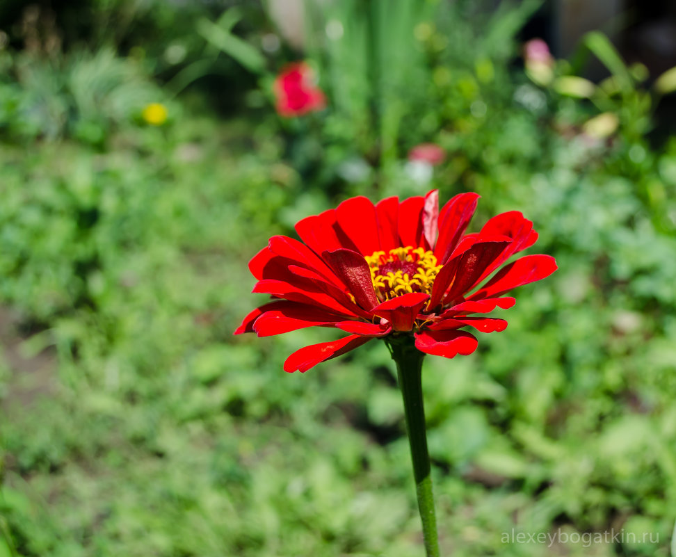 Богатка цветок