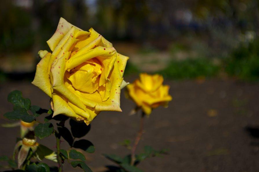осення роза - Виктория Неземная