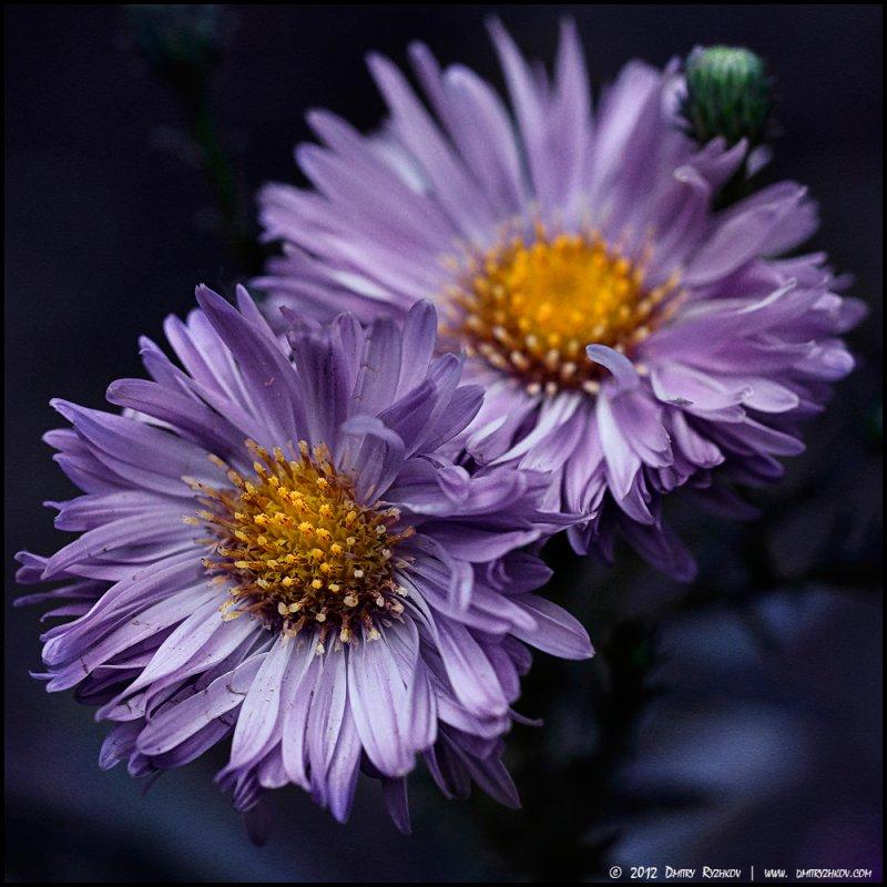 Лютики - цветочки - DR photopehota