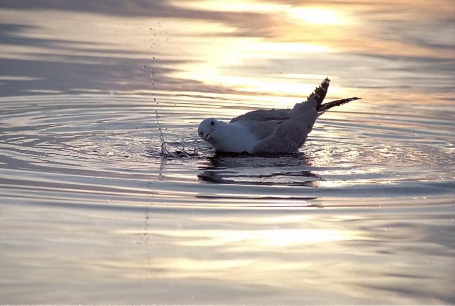 чайка ловить