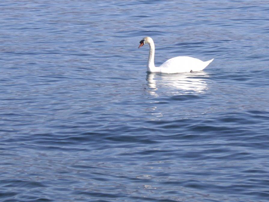 Белый лебедь - Елена Плаксина
