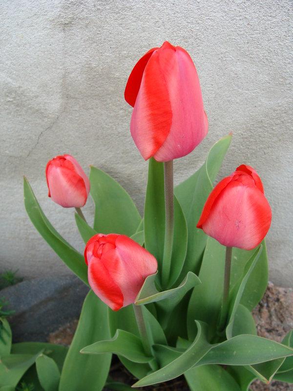 "Тюльпаны "" Spring "" - laana laadas"
