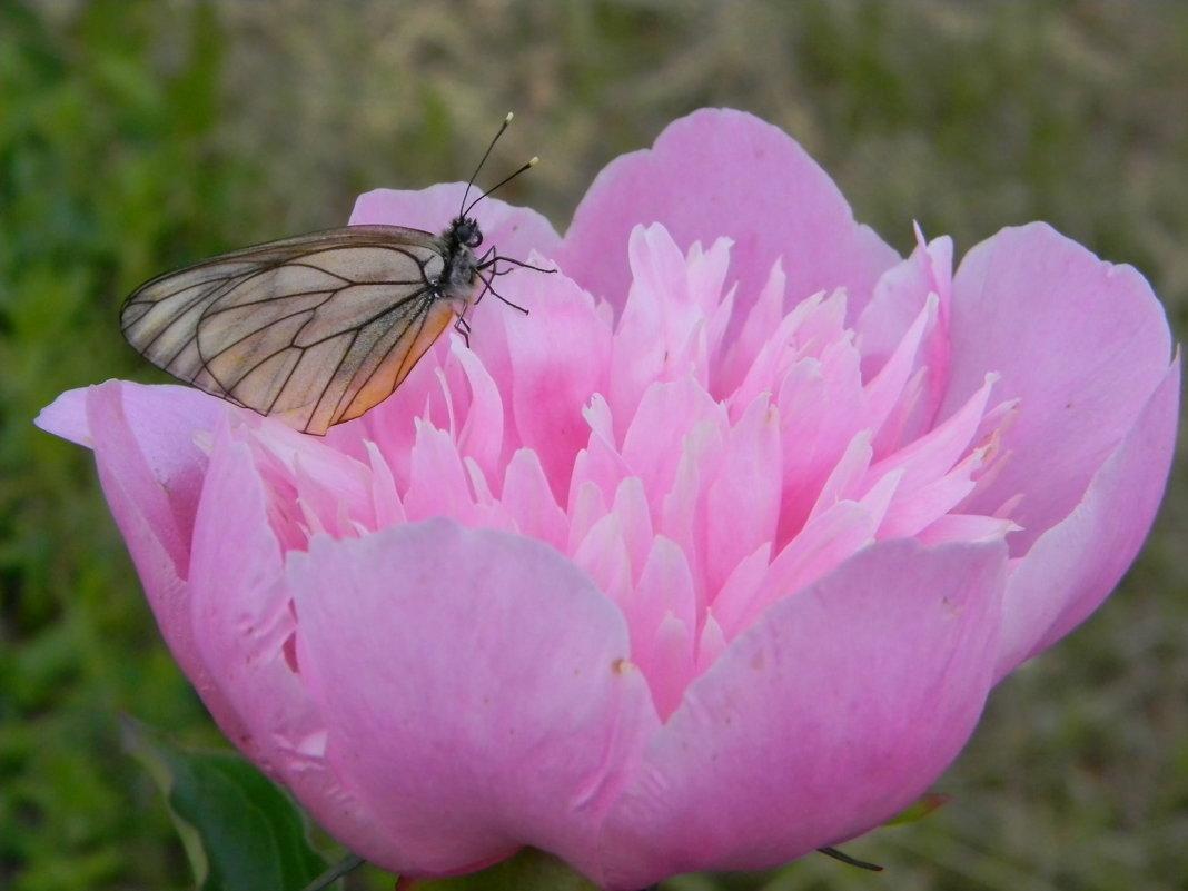 Пион с бабочкой - Олег Романенко
