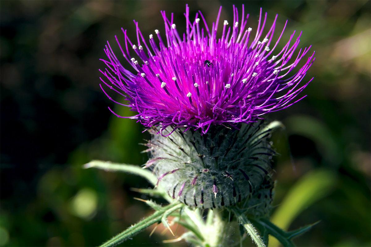 Колючка сиреневый цветок