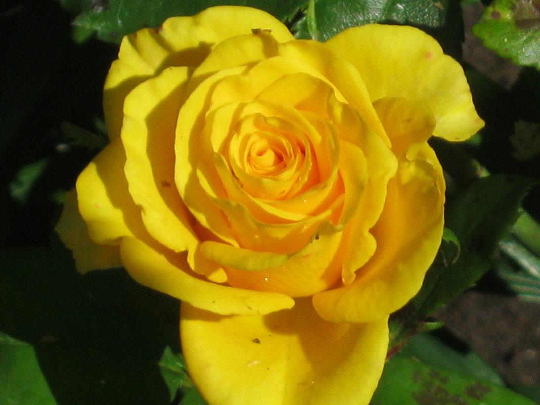 Розы доцветают... - галина