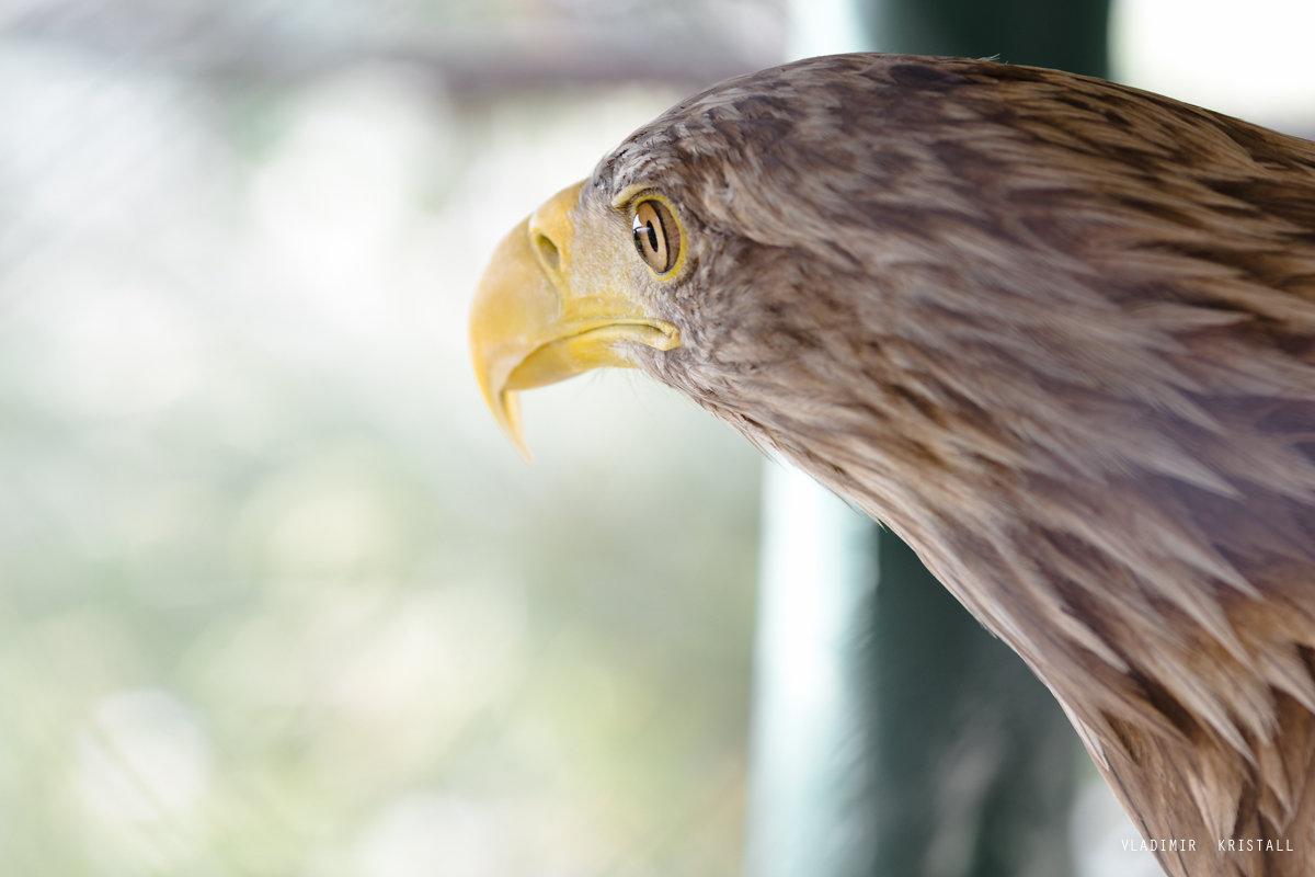 орел - Vladimir Kristall