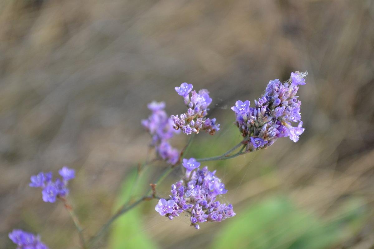 Цветы полевые - Agnivarshi Малтыз
