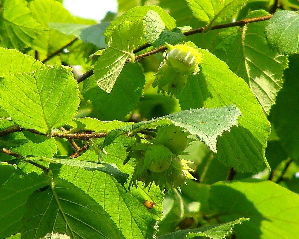лесной орех - Валентина. .
