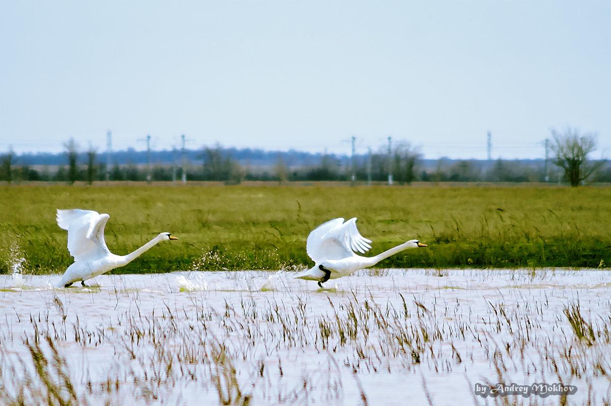 Лебеди - Андрей Мохов