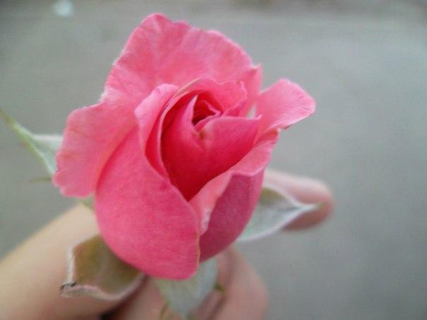 Роза - Vika Kleinos