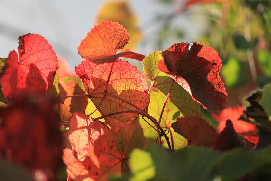 Виноградные листья - Владимир Немцев