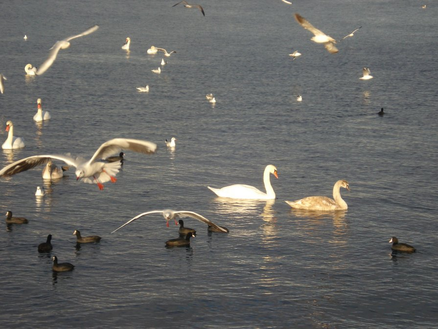 Лебеди в Севастополе, 1 января 2013 г. - Татьяна Гайдукова