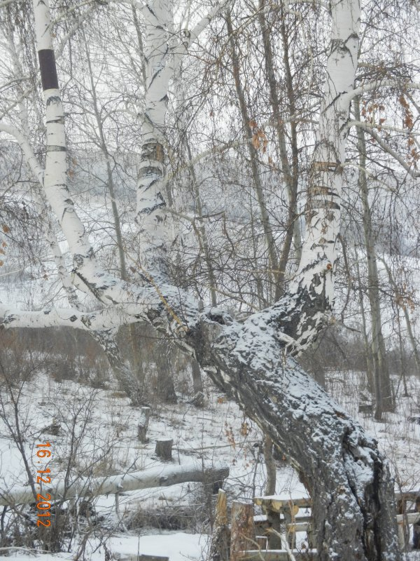 береза - Надежда Пономарева (Молчанова)