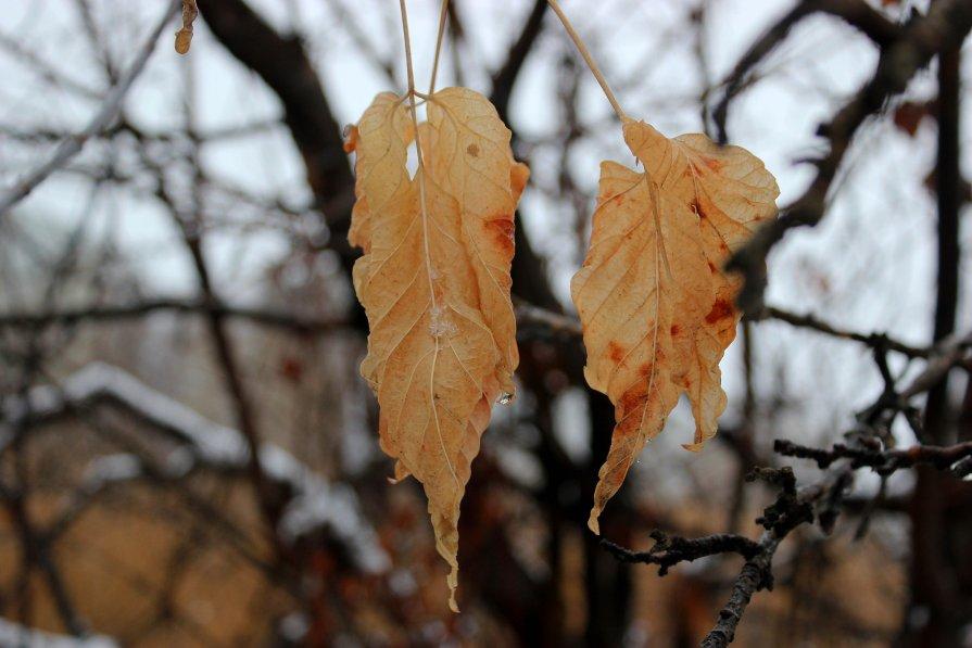 Январские листья - Dr. Olver